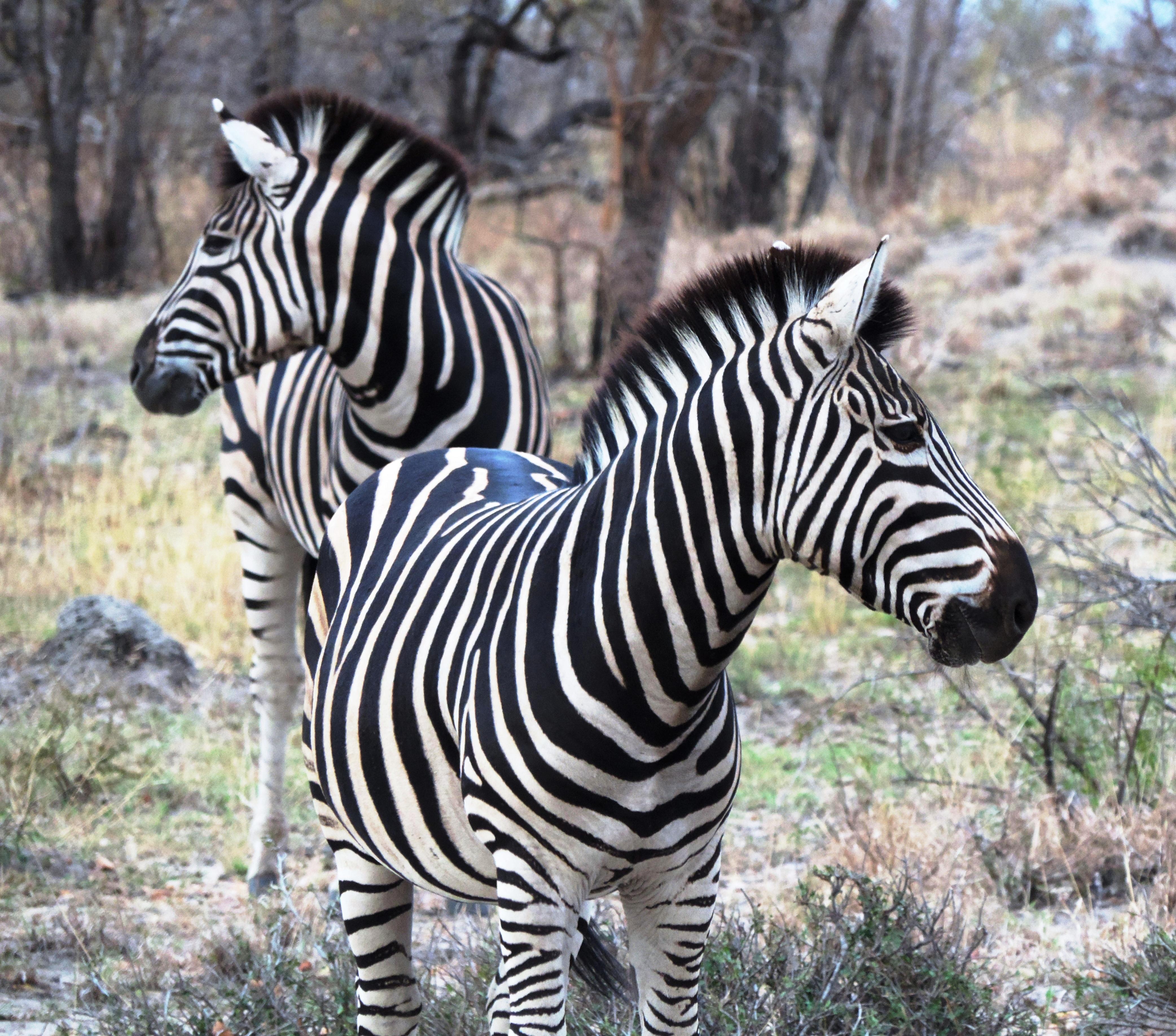 30-Zebras (Natura)